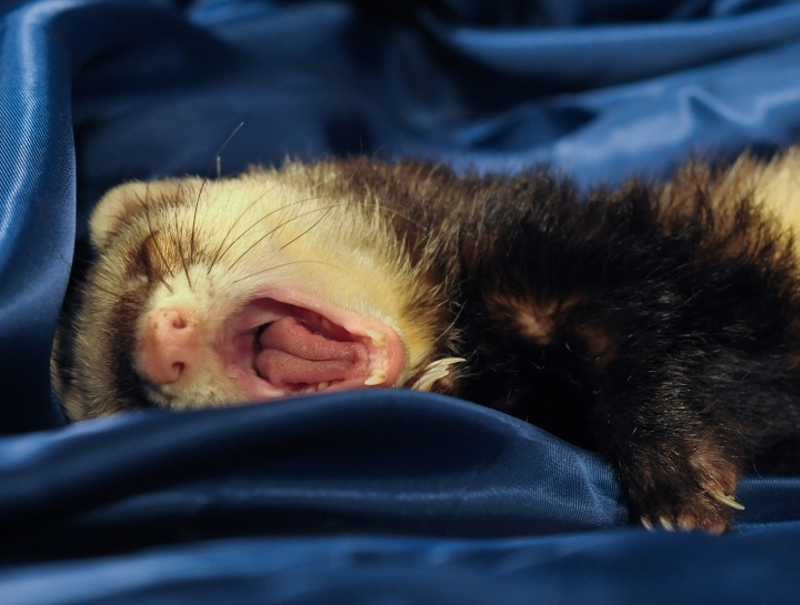 Canine Distemper Virus (CDV) in Ferrets