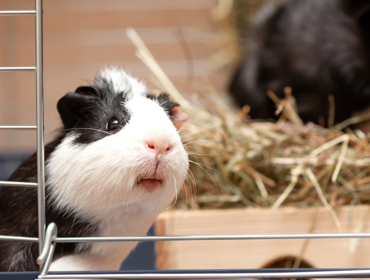 Dental Disease in Rabbits, Guinea Pigs, & Chinchillas